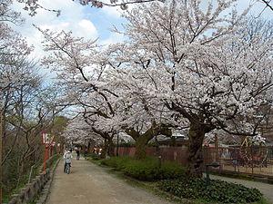 Takaoka Castle - The site of Takaoka castle is now Takaoka Kojo park, which has many cherry trees.