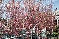 Prunus x yedoensis 7zz.jpg