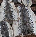 Pseudoplatystoma sp. - Flickr - Dick Culbert.jpg