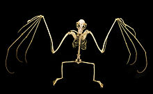 An articulated bat skeleton on a black background.