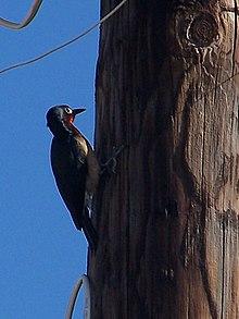 Puerto Rican woodpecker.