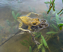 Puerto Rican crested toads (Bufo lemur).jpg