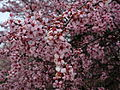 Purple-pink-plum-tree-flowering - West Virginia - ForestWander.jpg
