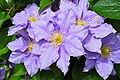 PurpleClematis1.jpeg