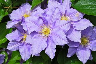 Clematis - Purple clematis