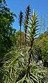 Puya chilensis 3.jpg
