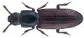 Pycnomerus secutus (Pascoe) (27029332294).png