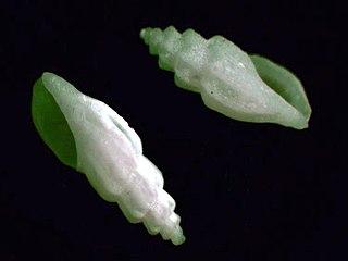 <i>Pyrgocythara</i> Genus of gastropods