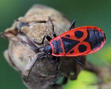 Pyrrhocoris apterus wikipedia - Insetti neri in casa ...