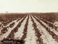 Queensland State Archives 2518 SS Bassetts vineyard at Roma c 1898.png