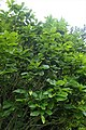 Quercus pontica kz01.jpg