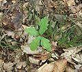 Quercus robur3 ies.jpg