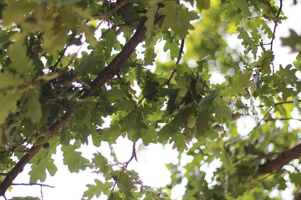 Quercus robur - Hrast lužnjak (1)adrvf
