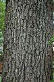Quercus velutina (24111944262).jpg