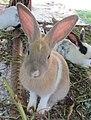 Rabbit (6896673289).jpg
