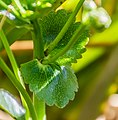 Ranunculus lyallii in Arthur's Pass NP 04.jpg