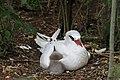 Red-tailed Tropicbird (Phaethon rubricauda) and chick - JFelis.jpg