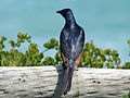 Red-winged Starling SMTC.jpg