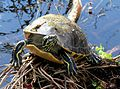 Red Bellied Turtle, NPSphoto, S. Zenner (9257760962).jpg