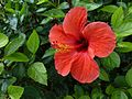 Red Hibiscus - Flickr - treegrow.jpg