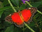 Red Lacewing - Cethosia biblis-10.JPG
