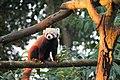 Red Panda is using bushy tails to balance on the tree at Padmaja Naidu Himalayan Zoological Park India.jpg