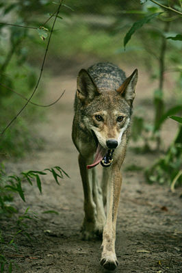 Rotwolf (Canis rufus)