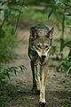 Red Wolf LO5S5245 original.JPG