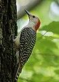 Red bellied woodpecker in Central Park (15858).jpg