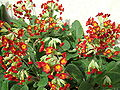 Red flowered cowslip.JPG