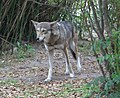 Red wolf approaching (4531334604).jpg