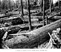 Redcedar logs, Skagit County, Washington, 1910 (INDOCC 525).jpg