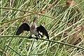 Reed cormorant - Lake Mutanda, Kisoro, Uganda.jpg