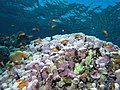Reef scene with coralline algae (and fish and other stuff) (6159017506).jpg