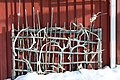 Reindeer farm, Inari, Suomi - Finland 2013-03-10 c.jpg
