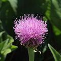 Rhaponticum scariosum ssp. rhaponticum-IMG 3544.jpg