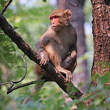 Rhesus macaque (Macaca mulatta mulatta) female.jpg