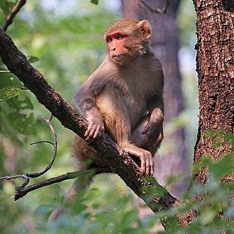 Rhesus macaque - Rhesus macaque in Satpura National Park