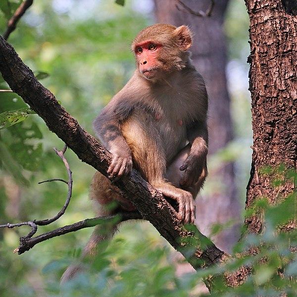 File:Rhesus macaque (Macaca mulatta mulatta) female.jpg
