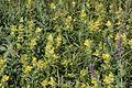 Rhinanthus serotinus (Groß-Klappertopf) IMG 9940.jpg