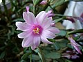 Rhipsalidopsis rosea-326914.jpg