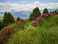 Rhododendron Villanderer Alm Südtirol.jpg
