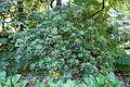 Rhododendron aberconwayi - VanDusen Botanical Garden - Vancouver, BC - DSC06783.jpg