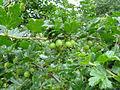 Ribes divaricatum fruit2.jpg