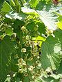 Ribes rubrum4.jpg