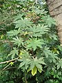 Ricinus communis - Castor Bean Plant at Trivandrum 2014 (3).jpg