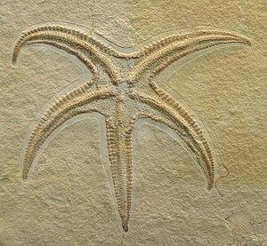 Asterozoa - Starfish fossil, Riedaster reicheli