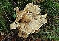 Riesenporling-Meripilus-giganteus.jpg