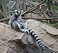 Ring tailed Lemur Lemur catta at Bronx Zoo 2.jpg