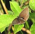 Ringlet butterfly (Aphantopus hyperantus) - geograph.org.uk - 1396254.jpg
